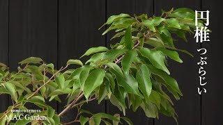 円椎(つぶらじい)源氏物語の草木を栽培するM.A.C Garden