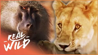 Monkey Hunters (Baboons Vs Lions Documentary) | Real Wild