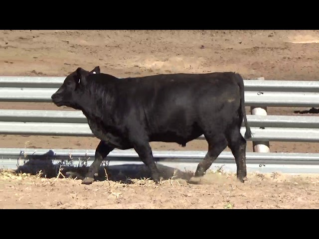 Connealy Angus Lot 27