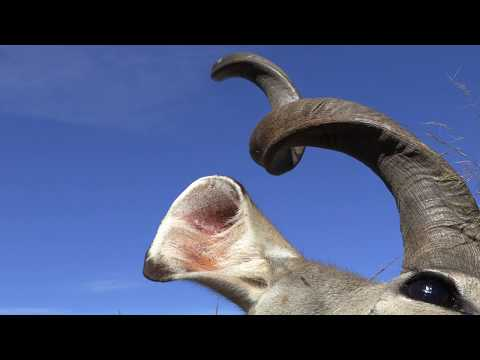 Kudu Hunt - The Grey Ghost Of Africa