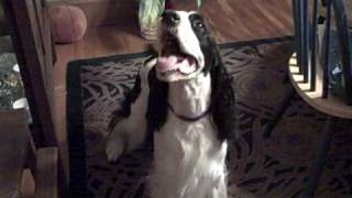 English Springer Spaniel Ralph, Plays With Cat Toy Tricks