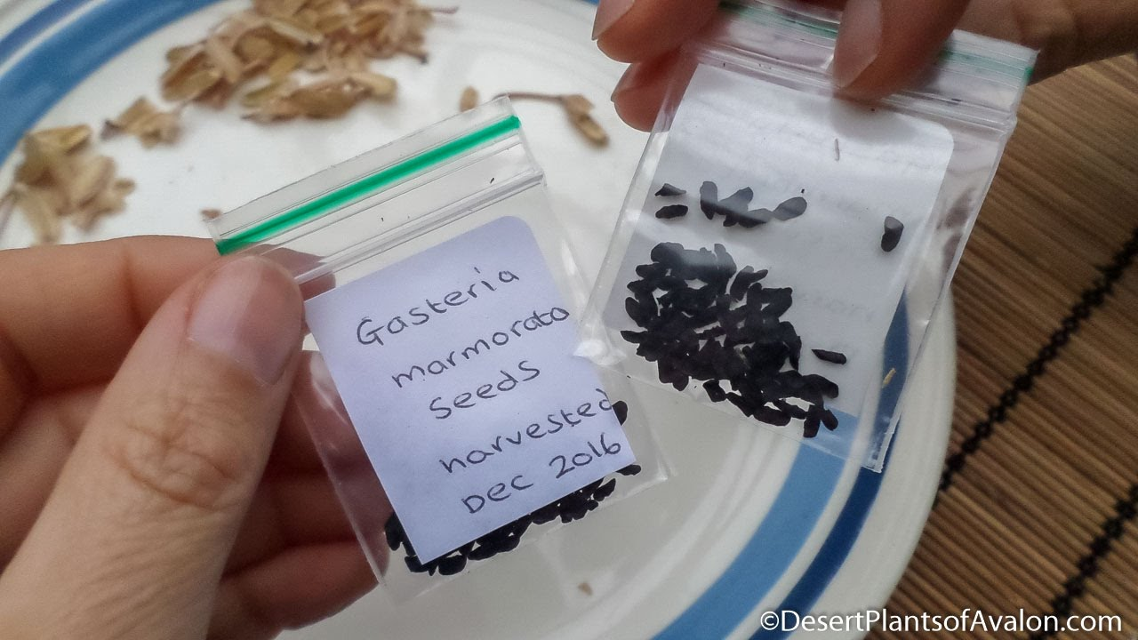 How To Harvest Gasteria Succulent Plant Seeds Youtube