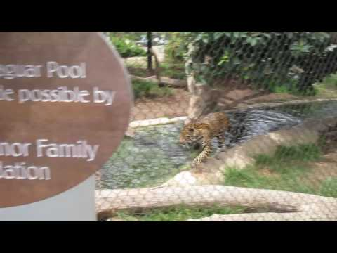 Cats in the Water - Jaguars Swimming