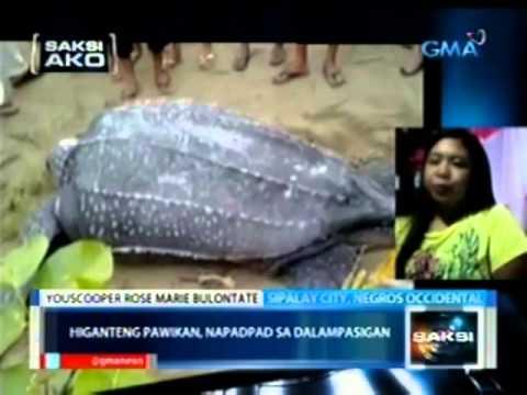 Saksi: Saksi Ako: Higanteng pawikan, napadpad sa Sipalay, Negros Occidental
