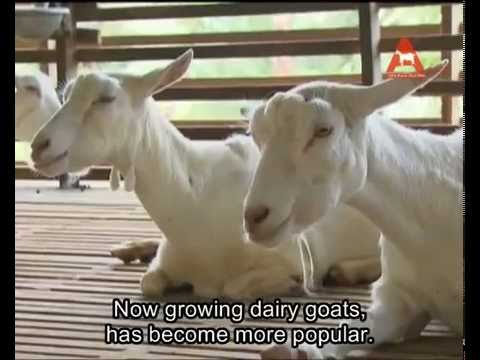 Alita Goat Milk (Introduction Of Alita Goat Farm.English subtitle)Free Delivery+6017-7112880(Mr.Lee)
