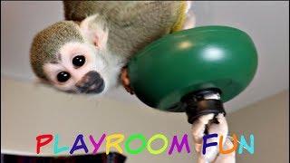 Baby Squirrel Monkey and Baby Capuchin play TAG! #babymonkeys #cutepet