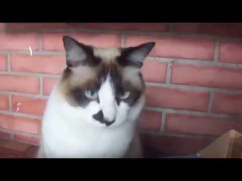 Gato com vergonha de ser filmado