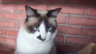 Baixar Gato com vergonha de ser filmado.