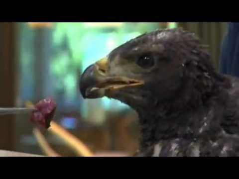 Download Eaglet named Phoenix found in wildfire ashes of Utah
