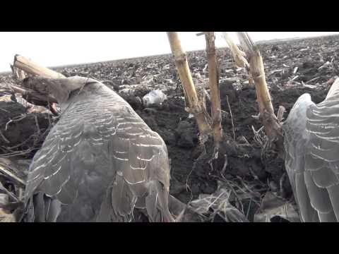 Весенняя охота на гуся-2014.