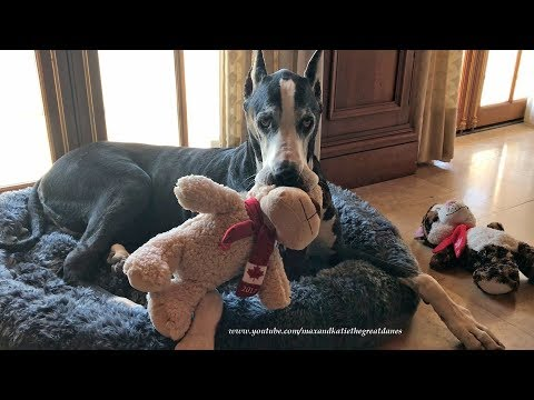 Funny Great Dane Chases Cat Out of Her Bed