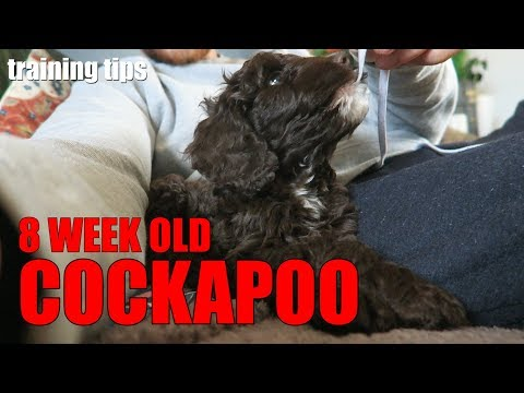 I GOT A COCKAPOO PUPPY - 8 Week Old Puppy Training Tips