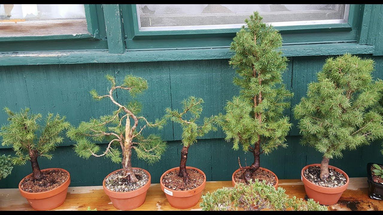 5 alberta spruce bonsai tree styles pt 2 - YouTube