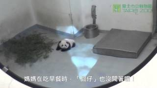 好奇寶寶圓仔 The Curious Baby Giant Panda Yuan Zai And Daddy Tuan Tuan in Outdoor
