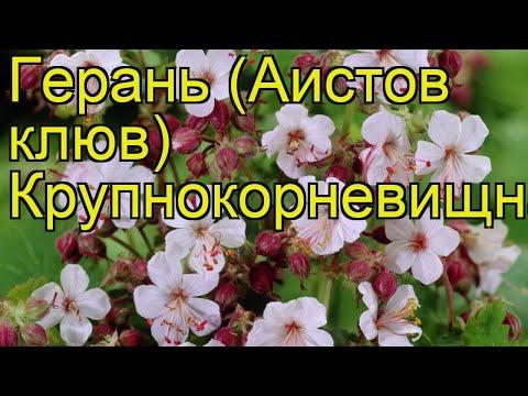 Герань крупнокорневищная. Краткий обзор, описание характеристик geranium macrorrhizum