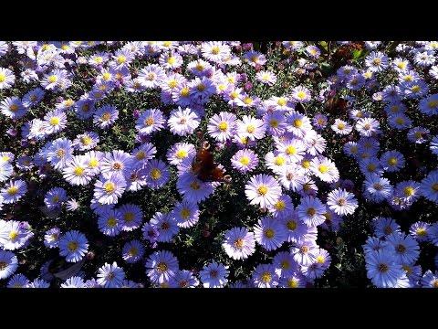 Цветы сентябринки - Слайд шоу из фотографий