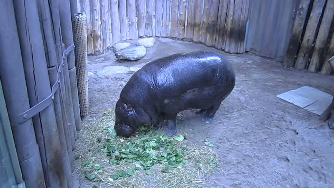 Hippopotamus eating people