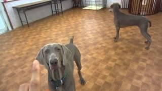 犬の幼稚園わんこラボです。 久しぶりにワイマラナーのお友達がそろいま...