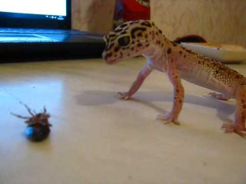 Вопрос: Как ухаживать за леопардовым гекконом?