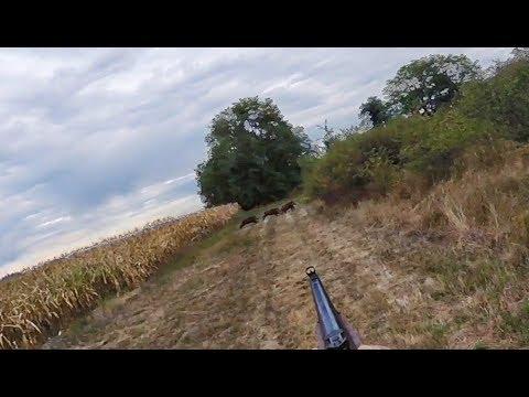 Chasse aux sangliers-Un tir à +130 mètres !