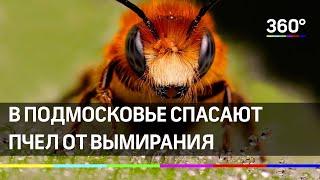 В Подмосковье спасают пчел от вымирания