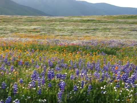 Wild Flowers in March near Bakersfield/Arvin Calif...