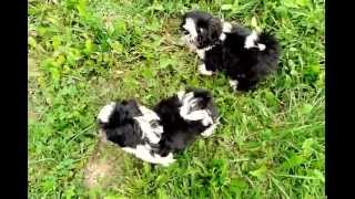 Sweet Shih Tzu Puppies Fighting In The Garden