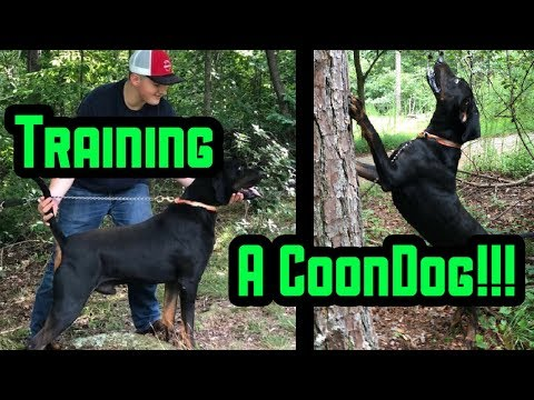 Gage Training His Black And Tan Coon Dog