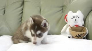 2014年3月19日生まれのシベリアンハスキーの子犬です。 http://www.wanb...