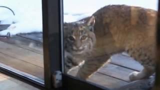 Рысь и кошка: о чем же  говорили забавные животные? Перевод.