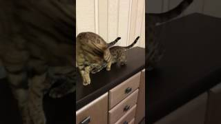 бенгальские кошки драка