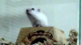 Internetvideo - Verhaltensgestörter Hamster ?