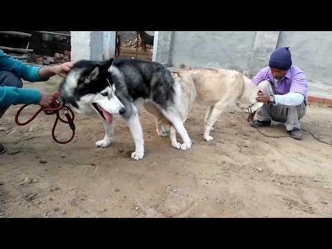 Pet Care - Husky Meting - Bhola Shola