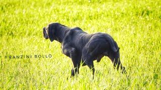 التحكم التام في كلب الصيد #البوانتار_الإنجليزي #FRANZINI_BOLLO #ENGLISH__POINTER