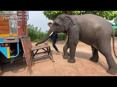 ระทึก❗️บัวบานไม่ได้ขึ้นรถนานจะขึ้นได้ไหม❓อึแตก❓एक हाथी,elephant