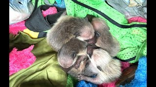 Mother Raccoons Nest in Strange Places