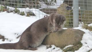 Seeotter in Aktion