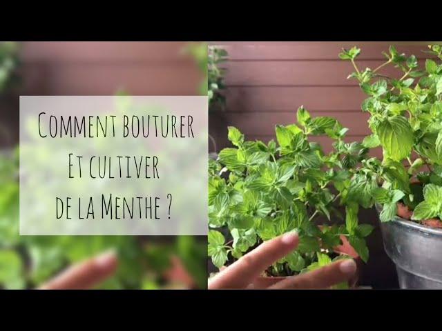 comment bouturer et cultiver de la menthe ? #video – osez planter Ça