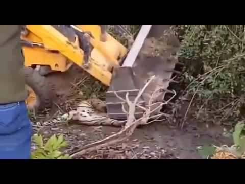 Tiger gets accidenta