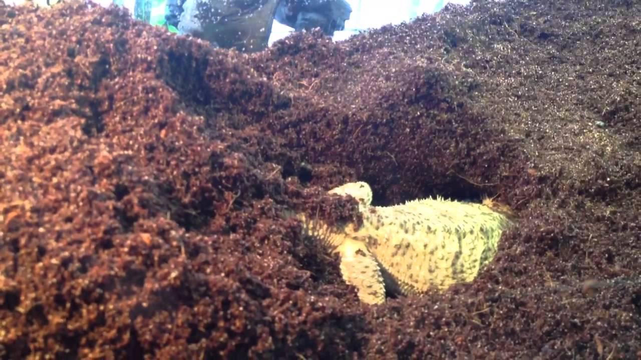 Bearded Dragon Burrowing To Lay Eggs Youtube