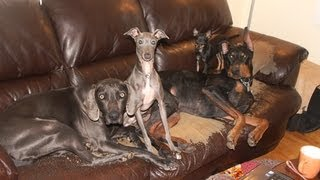 Doberman & Weimaraner & Italian Greyhound