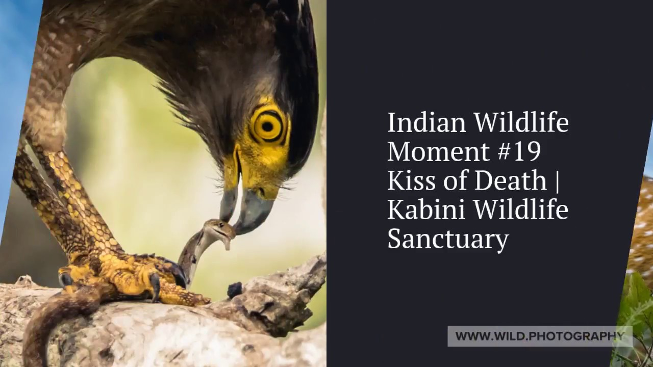 Top 20 Indian Wildlife Moments by Wildlife Photography | Alvis Lazarus