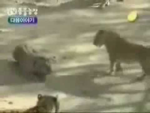 Asiatic Lions vs Male Bengal Tigers ( Lions win )