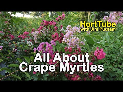 All About Crape Myrtles (Growing and Maintaining Crape Myrtles)