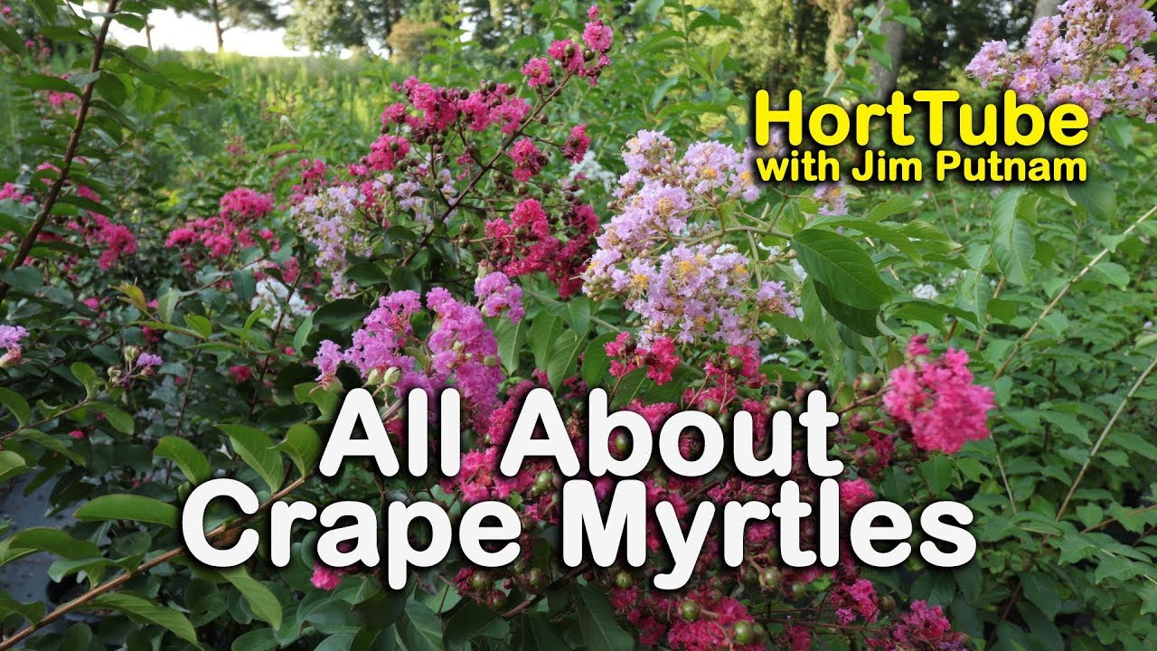 All About Crape Myrtles (Growing and Maintaining Crape Myrtles ...