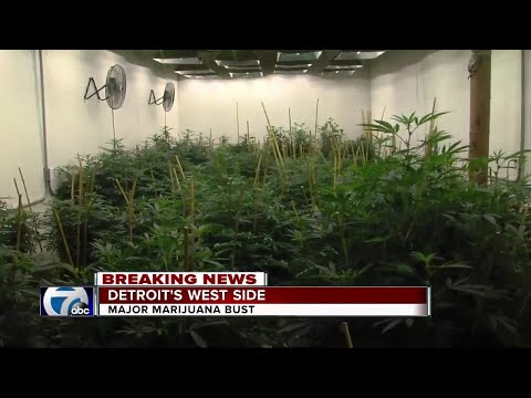 Massive $500,000 marijuana grow operation busted in Detroit