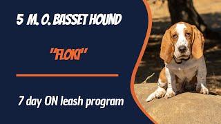 BASSET HOUND / DOG TRAINING