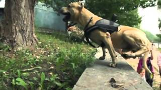 Epic Parkour - Super American Staffordshire Terrier !