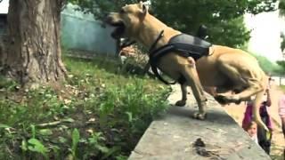 Epic Parkour - Super American Staffordshire Terrier !(Queria apresentar e recomendar este canal: http://www.youtube.com/channel/UCV9d2va8nmWvI9Hqr7lRDTA SUPER CÃO. / Super DOG. ESTE VÍDEO É UMA ..., 2013-05-05T00:47:17.000Z)