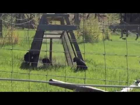 Chimpanzees alarm call at snake